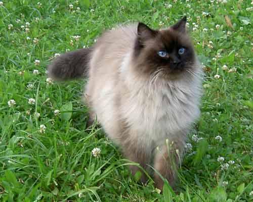 В общем голосуйте плиз)) 1. Невская маскарадная кошка... прикол породы в...