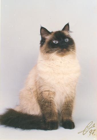 Невская маскарадная кошка: О ПОРОДЕ. вот, первое. что нашлось.
